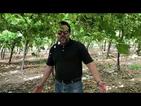 Advanced fertilization program for optimum yield of grapevines.