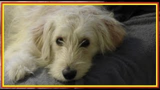Cute Goldendoodle Dog With Killer Instinct Versus Top 10 Funny Animals. Compilation No69 2014