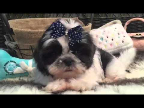 One of a kind, Blue and White Shih Tzu!