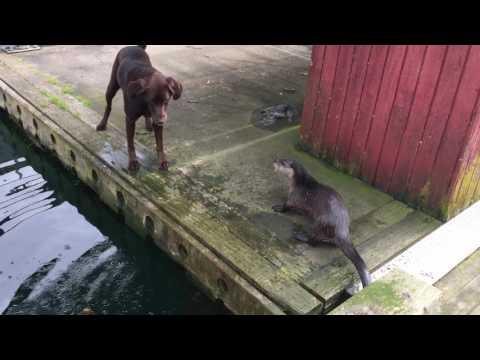 Выдра играется с собакенами
