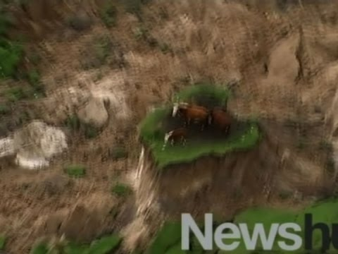 New Zealand Earthquake Strands Cows