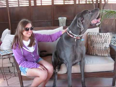 George The Great Dane (A Seriously Tall Dog!)