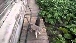 Wytresowała swojego psa żeby przyprowadzał kota do domu! Widząc jak to robi, zaniemówisz!