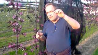 #342 Apfelzüchtung 4v10 - Befruchtung der Blüte