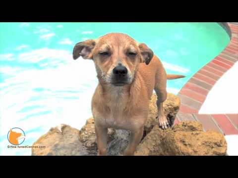florida dog trainer - http://www.Fine-tunedCanines.com and FB: http://www.facebook.com/FinetunedCanines Maddie, the Miniature Pinscher female mix, was rescued from a kill shelter ...