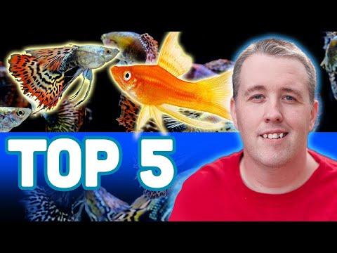 My TOP 5 LIVEBEARER AQUARIUM FISH