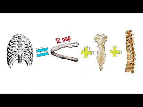 2. Ребра и грудина