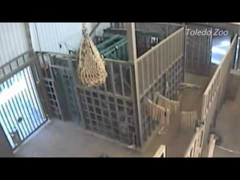 Elephant attacks manager at Toledo Zoo