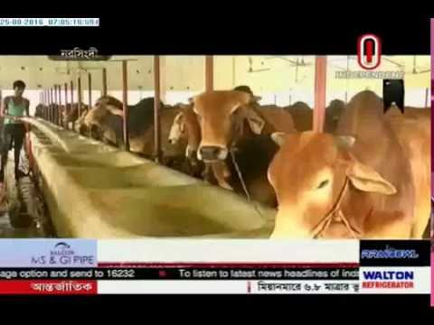 Cattle being fed using natural food (25-08-2016)