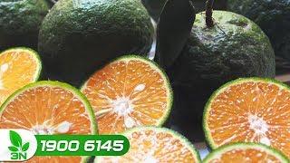 Trồng trọt | Nguyên nhân cây cam sành thối rễ mặc dù lá vẫn xanh