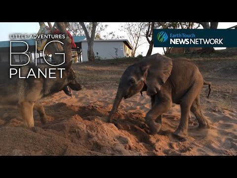 Baby Elephant Forms Unlikely Bond with German