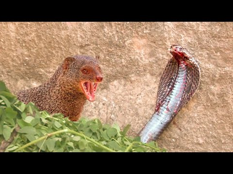 Snake (Cobra) vs Mongoose real fight and the  Most Amazing Attack of Animals .snake vs mongoose