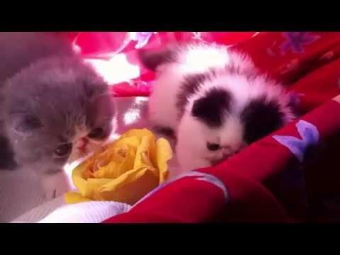 Vendita cuccioli gatti persiani