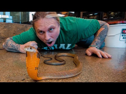 KING COBRA at my REPTILE ZOO!! | BRIAN BARCZYK