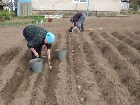 Подготовка картофельных клубней к посадке