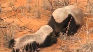 Video National Geographic Snake Killers Honey Badgers Of The Kalahari MP3, 3GP, MP4, WEBM, AVI, FLV Agustus 2019