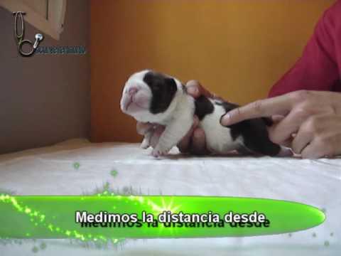 Cómo sondar a un cachorro de Bulldog Inglés