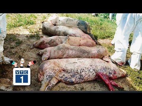Hà Nội: Thêm một ổ dịch tả lợn Châu Phi - Thời lượng: 112 giây.
