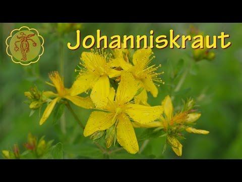 Heilpflanze: Johanniskraut