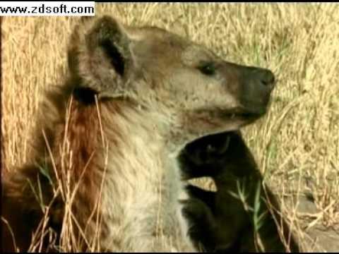 Enemigos Eternos Hienas y Leones Especial de National Geographic  2