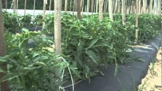 Meet ShopRite's Jersey Tomato Farmer!