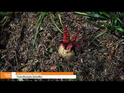 Invasive Pflanzenarten: Tintenfischpilz Zeitraffer