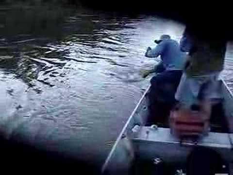 Cachara no Xingu (RioCuluene)