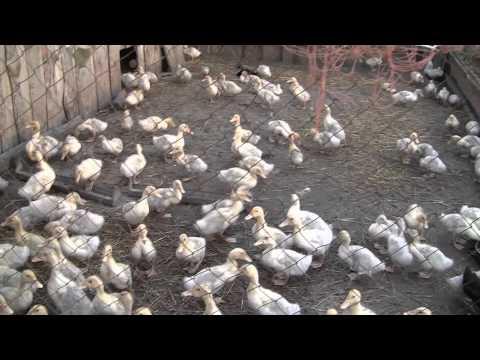 Как развести гусей в домашних условиях