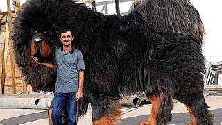 10 abnormal große Hunde, die es wirklich gibtBei Fragen rund um das Video wende dich bitte an: topwelt@outlook.comJetzt kostenlos ABONNIEREN ► https://goo.gl/lDu1zHTopWelt auf Facebook: https://www.facebook.com/TopWeltTopWelt auf Twitter: https://twitter.com/TopWeltTopWelt auf Instagram: https://www.instagram.com/TopWelt[Hinweis]Einige Bilder und Videos unterliegen der Creative Commons CC0: https://creativecommons.org/publicdomain/zero/1.0/der Creative Commons Attribution 2.0: https://creativecommons.org/licenses/by/2.0/de/der Creative Commons Attribution-ShareAlike 2.5: https://creativecommons.org/licenses/by-sa/2.5/oder der Commons Attribution 3.0: https://creativecommons.org/licenses/by/3.0/de/Quellen:Shutterstock, Wikimedia, Pixabay und mehr[Musik]District Four (incompetech.com)Licensed under Creative Commons: By Attribution 3.0 Licensehttp://creativecommons.org/licenses/by/3.0/