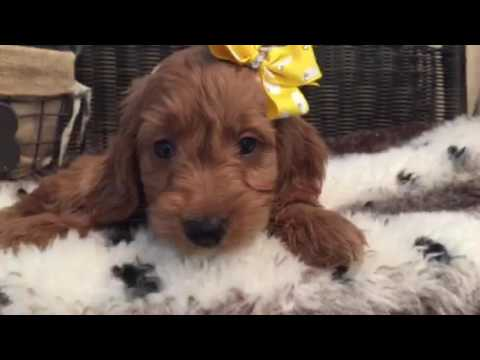 A real charmer, Mini Goldendoodle puppy
