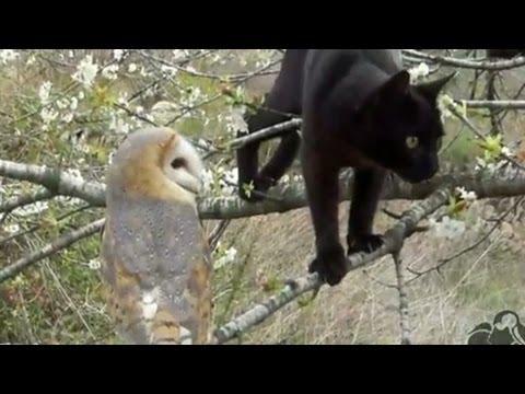gatto e civetta diventano migliori amici! guardate come giocano insieme!