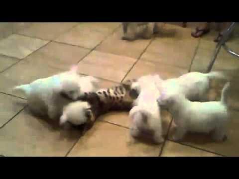 可憐小貓慘遭小狗群圍毆到站不起來….