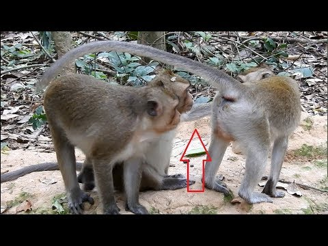 Video what sister monkey doing with two brother monkeys? download in MP3, 3GP, MP4, WEBM, AVI, FLV January 2017