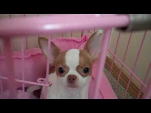Micro /teen chihuahua-Funny yoga poses for Chihuahua