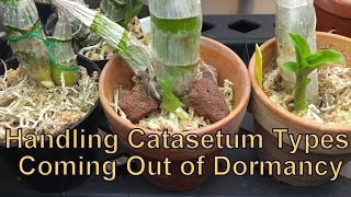 I get lots of messages for how to handle Ctsm types coming out of dormancy and when to water the little buggers. So, guess what I'll be talking about in this video?! I also show you what fertilizers I will be using this year, and a quick refresher on how I repot my Ctsm coming out of dormancy!FOLLOW ME ON FACEBOOK: https://www.facebook.com/holycityorchidsFOLLOW ME ON TWITTER: https://twitter.com/BulbofettFOLLOW ME ON INSTAGRAM: https://instagram.com/holycityorchids/