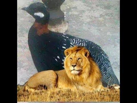 Video Black Francolin or kala teetar calling (Francolinus pondicerianus) download in MP3, 3GP, MP4, WEBM, AVI, FLV January 2017