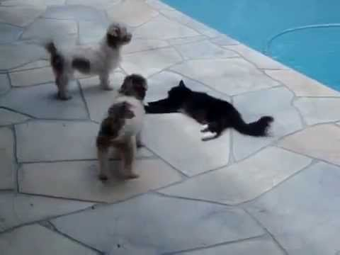 gatto spinge cane nella piscina