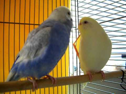 Parakeet Mating Dance