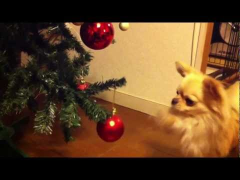 Chihuahua vs Christmas tree チワワ 対 クリスマスツリー