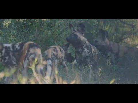 WIEDERANSIEDLUNG: Warum der Afrikanische Wildhund für ...