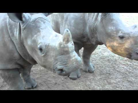 rhinos - Two baby rhinos filmed in Hluhluwe, South Africa. I am the original owner of this video.