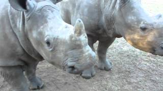 You Would Never Guess This Is What A Rhino Sounds Like...