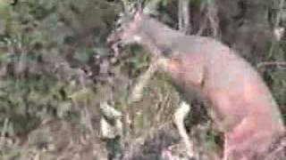 Whitetail Deer Attacks Hunter
