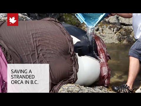 Η συγκλονιστική διάσωση μιας φάλαινας Όρκα που κόλλησε στα βράχια