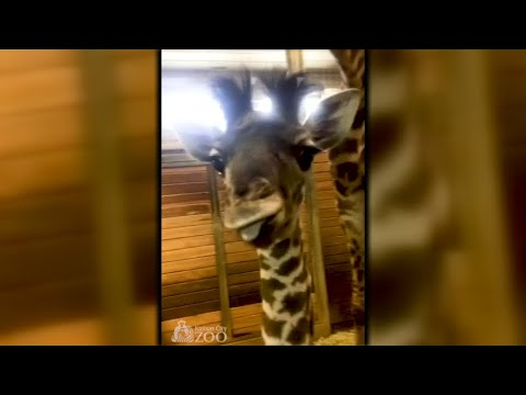 Kansas/USA: Giraffen-Baby im Zoo Kansas