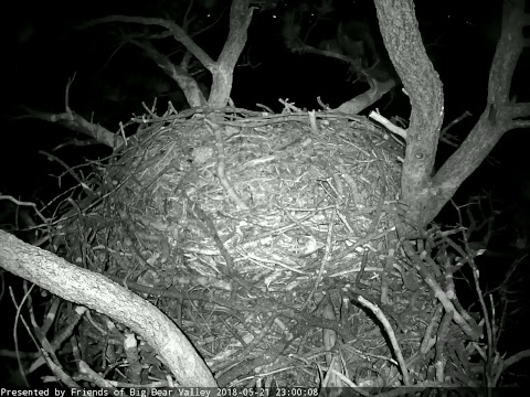 Live-Cam: Big Bear Bald Eagle Cam, California