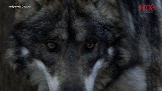 Lobo gris mexicano, especie que desafía la extinción