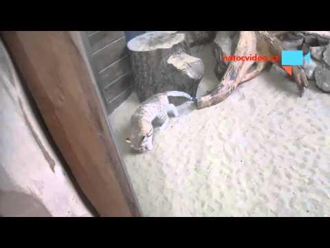 Kočka pouštní v jihlavské zoo 19.9.2015