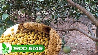 Trồng trọt | Dùng nước đậu tương tưới cho cây bưởi: Nên hay không?
