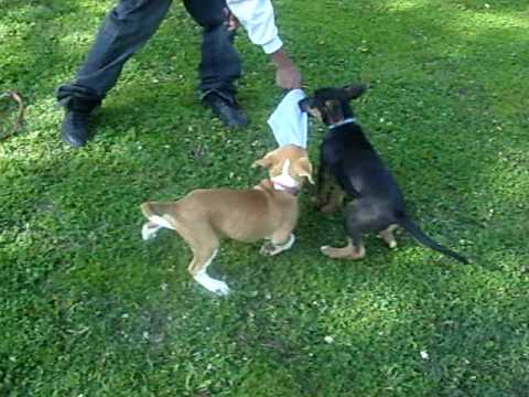 jerman shepard and pitbull puppy fight to the death
